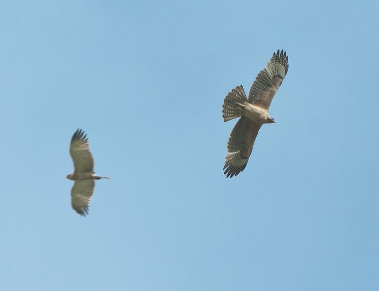 Bonelli's Eagle (1st year) - Havikarend Short-toed Eagle - Slangenarend