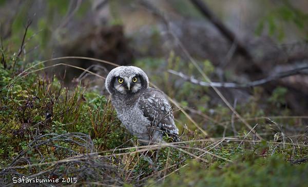 Finland - Owl - feeding & fledging sequence
