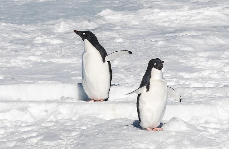 Penguins_Adelie_AntarcticSound-1.jpg