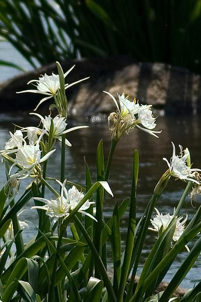 Lilies 3.jpg