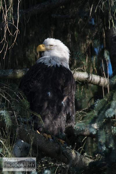 Eagle Sml-23.jpg