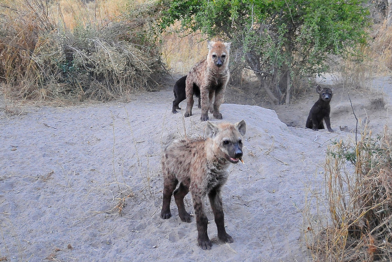 EPV1163 Hyena Pups Play Near Den in Termite Mound.jpg