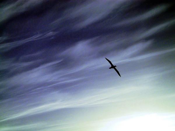 Lone Gannet