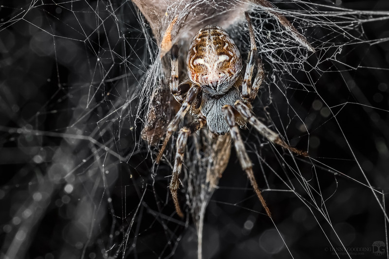 Labyrinth orb-weaver
