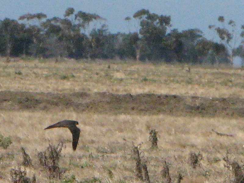 Australian Hobby - Flying 2.JPG