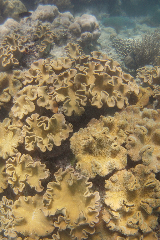 Hard coral at the Great Barrier Reef