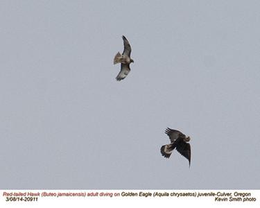 Red-tailedHawkA&Golden EagleJ20911.jpg