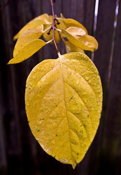 persimmon_leaf.jpg