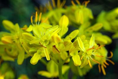 Haloragaceae