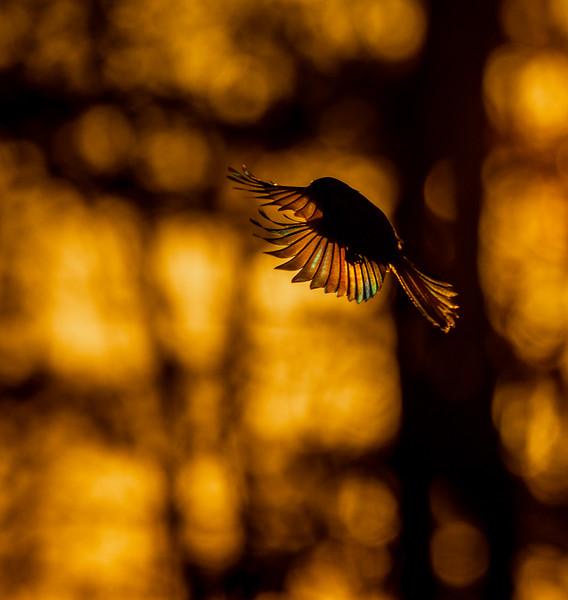 Black-capped Chickadee at feeder backlit backlighting Skogstjarna Carlton County MN  IMGC9407.jpg