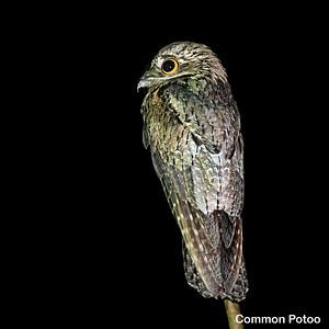 Nightjars, Potoos & Oilbird
