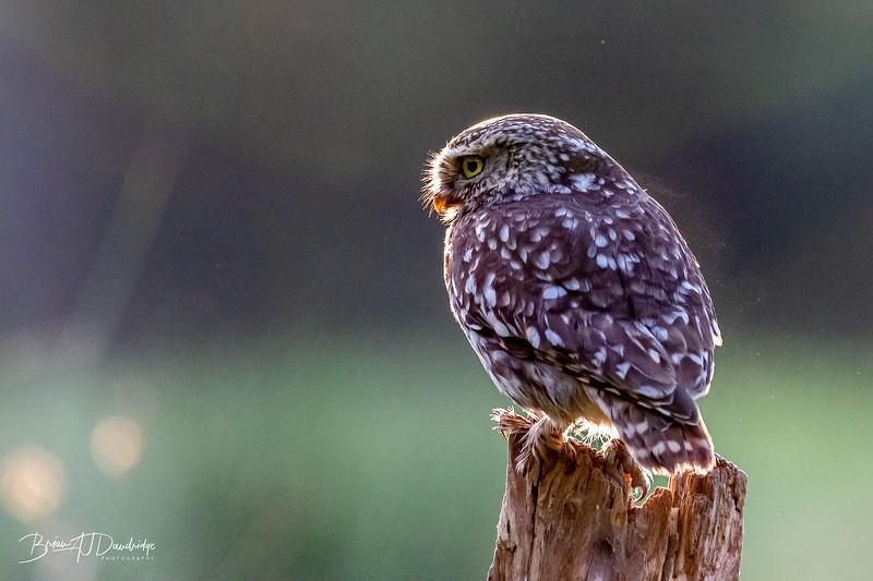 The Little Owl Shoot-6024.jpg