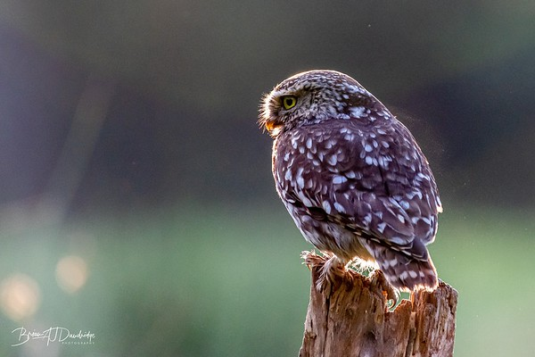 Little Owls (Scientific name: Athene noctua)