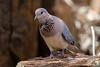 Laughing Dove in Madikwe