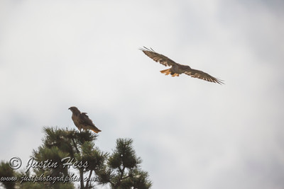 Red-tailed Hawk Immature 07-15-2017