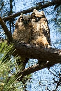 Owl  124