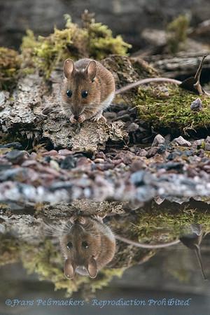 Bosmuis; Apodemus sylvaticus; Wood mouse; Mulot sylvestre; Waldmaus