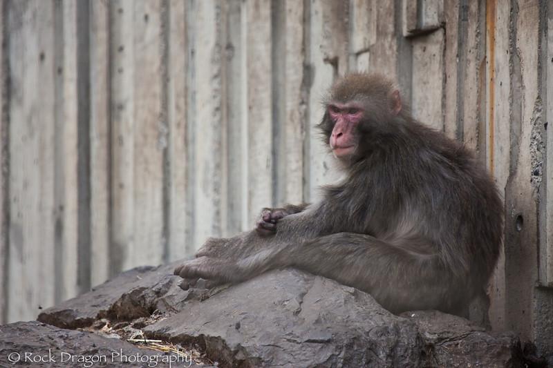 Japanese Macaque, Calgary Zoo