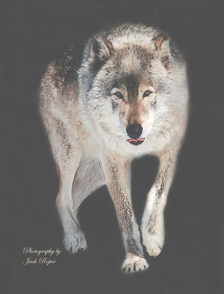 Alfa Timber wolf.jpg
