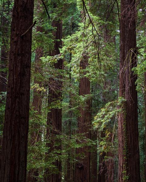 Light Filtering Down, Humboldt Redwoods State Park