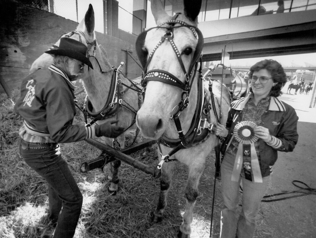 ". W.D. Cowboy"" Hamm unharnesses his two gray mules,Jenny and Kate,after he and daughter  Melody Brandt finished first finished first in mule precision driving. Hamm collects the old horse drawn wagons, and has over 60 assorted vehicles. David Denney, The Denver Post"