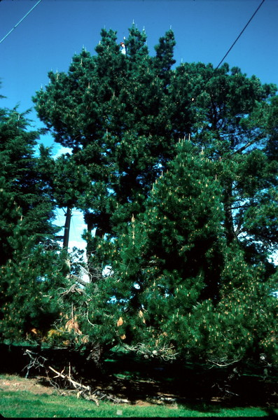 1976-8 (3) David 12 years up pine tree @ Maintop.jpg