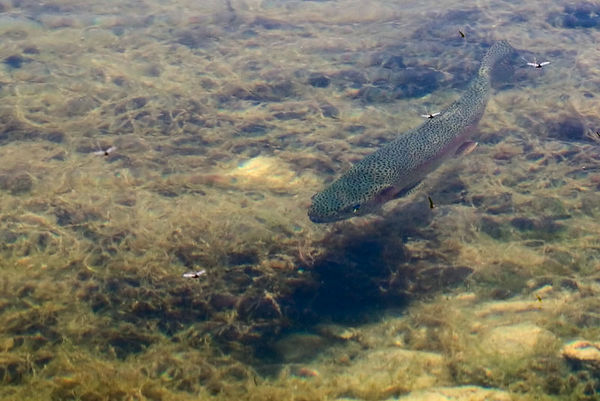 Rising and Swimming Trout