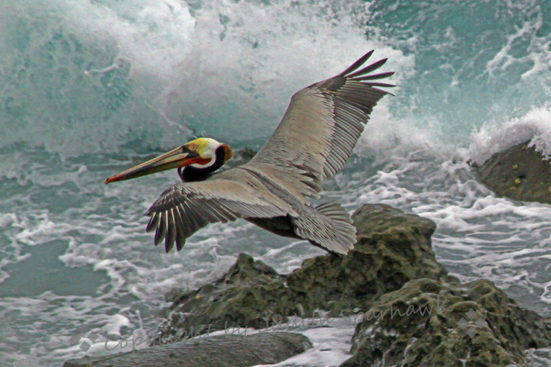 Flying Pelican ~ This Brown Pelican flew over the incoming surf at La Jolla Cove, San Diego area.