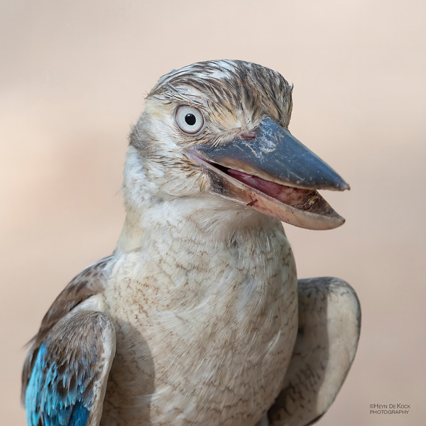 Blue-winged Kookaburra, Bowling Green NP, QLD, Jan 2020-2.jpg