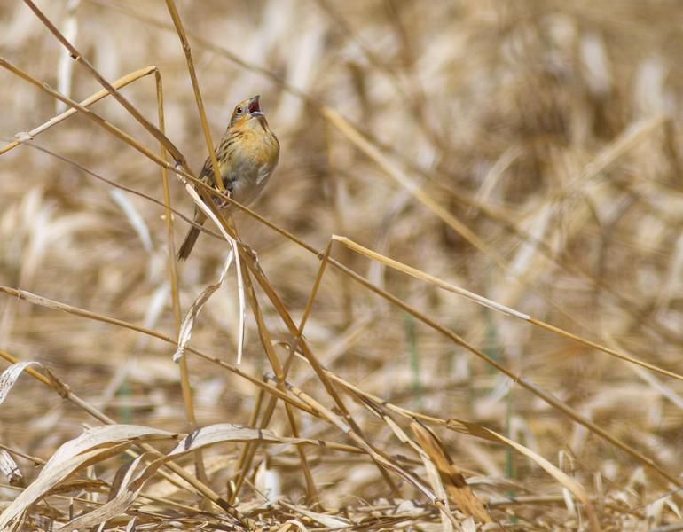 LeConte's Sparrow Pine Road Sax-Zim Bog MNIMG_7633.jpg