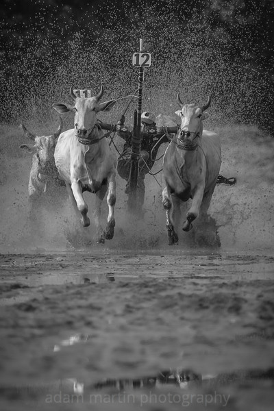 Cow Racing Vietnam