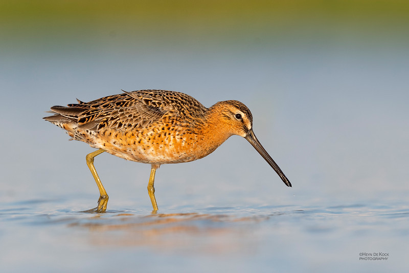 Short-billed Dowitcher, Fort De Soto, St Petersburg, FL, USA, May 2018-13 (1).jpg