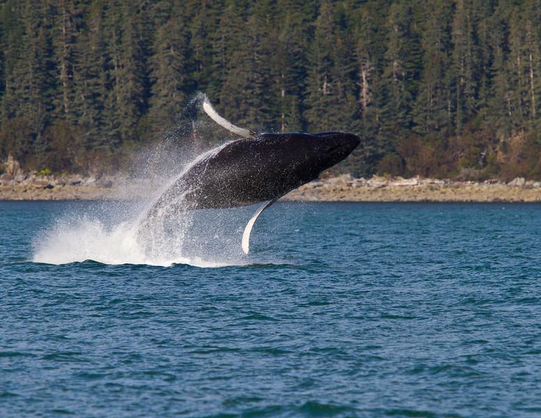 Humpback whale breaching near Admiralty Island, Alaska