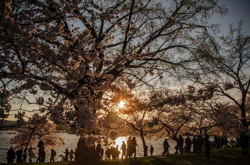 Cherry Blossoms at Sunrise-54.jpg