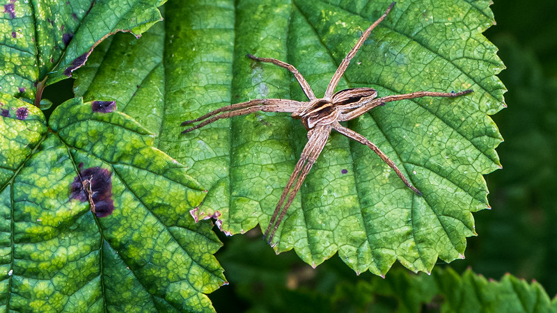 European Nursery Web Spider