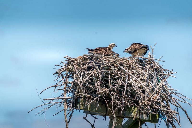6-7-20 ospreys-8.jpg