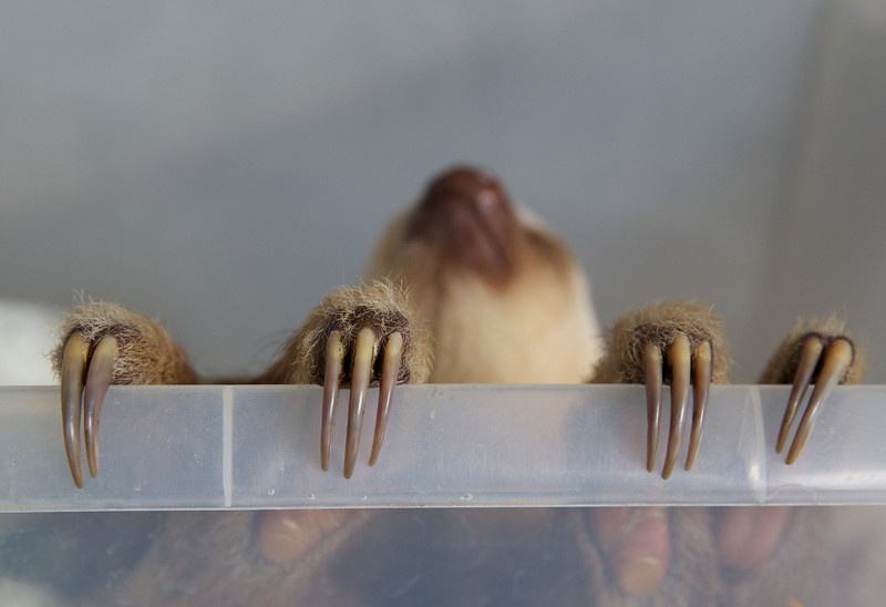 "Two-fingered Sloth at the <a href=""http://www.slothsanctuary.com/"">Sloth Sanctuary</a>. Two fingers (claws) on the front legs; all sloths have three fingers on the rear legs."