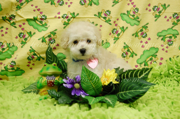 Donated MaltiPoo Puppy # 2069 Armstrong Elementary School To Angela & Artemio D. Of Dallas, Tx