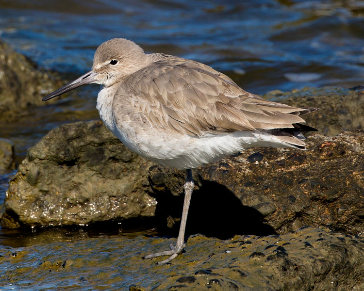 and another Eastern Willet