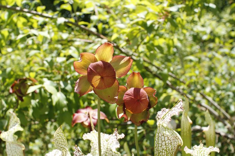 white pitcher plant flower