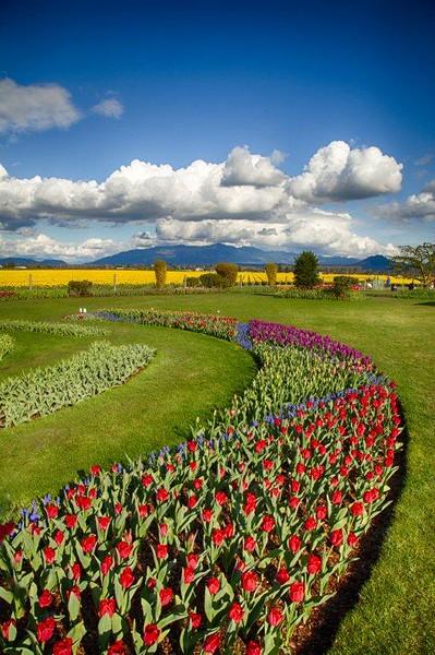 Tulips, Skagit 3963_HDR.jpg