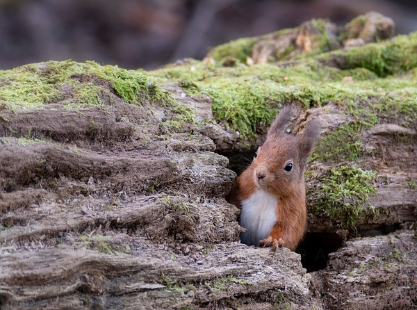 Nature: Winter / Autumnal Red Squirrels