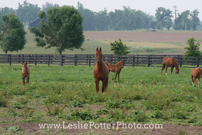 Saddlebred Horses in Pasture