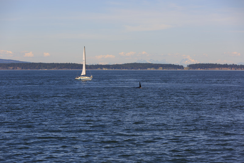2013_06_04 Orcas Whale Watching 341.jpg