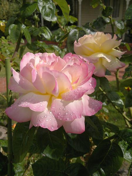 20120211_1009_191 rose