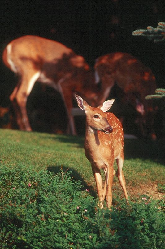 White-tailed Deer Fawn - Pennsylvania