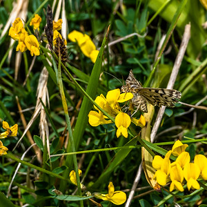 Butterflies Minch Common 28th May 2017
