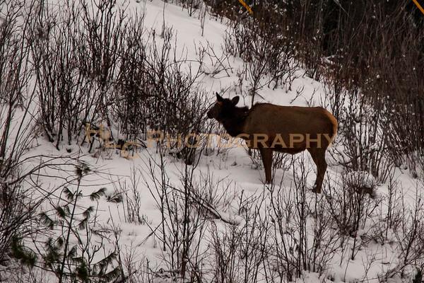 02/12/19 Elk in Osburn