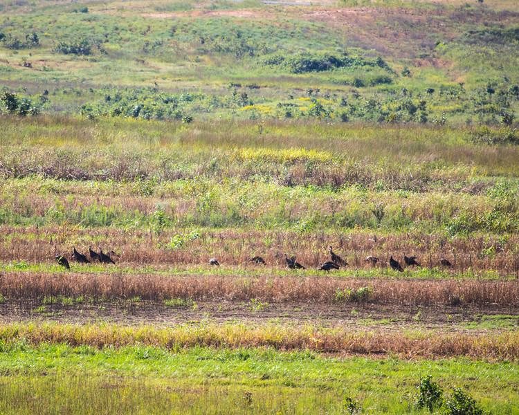 Turkey in a field