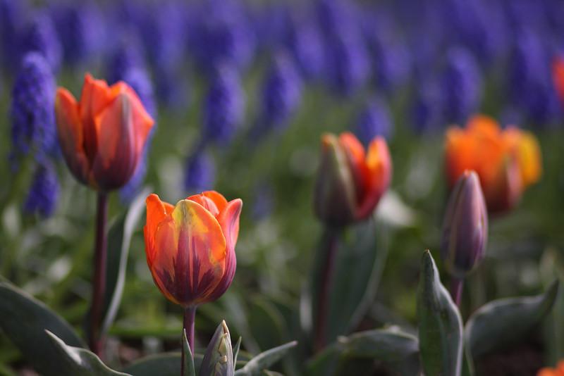 Tulips-2010 15.JPG